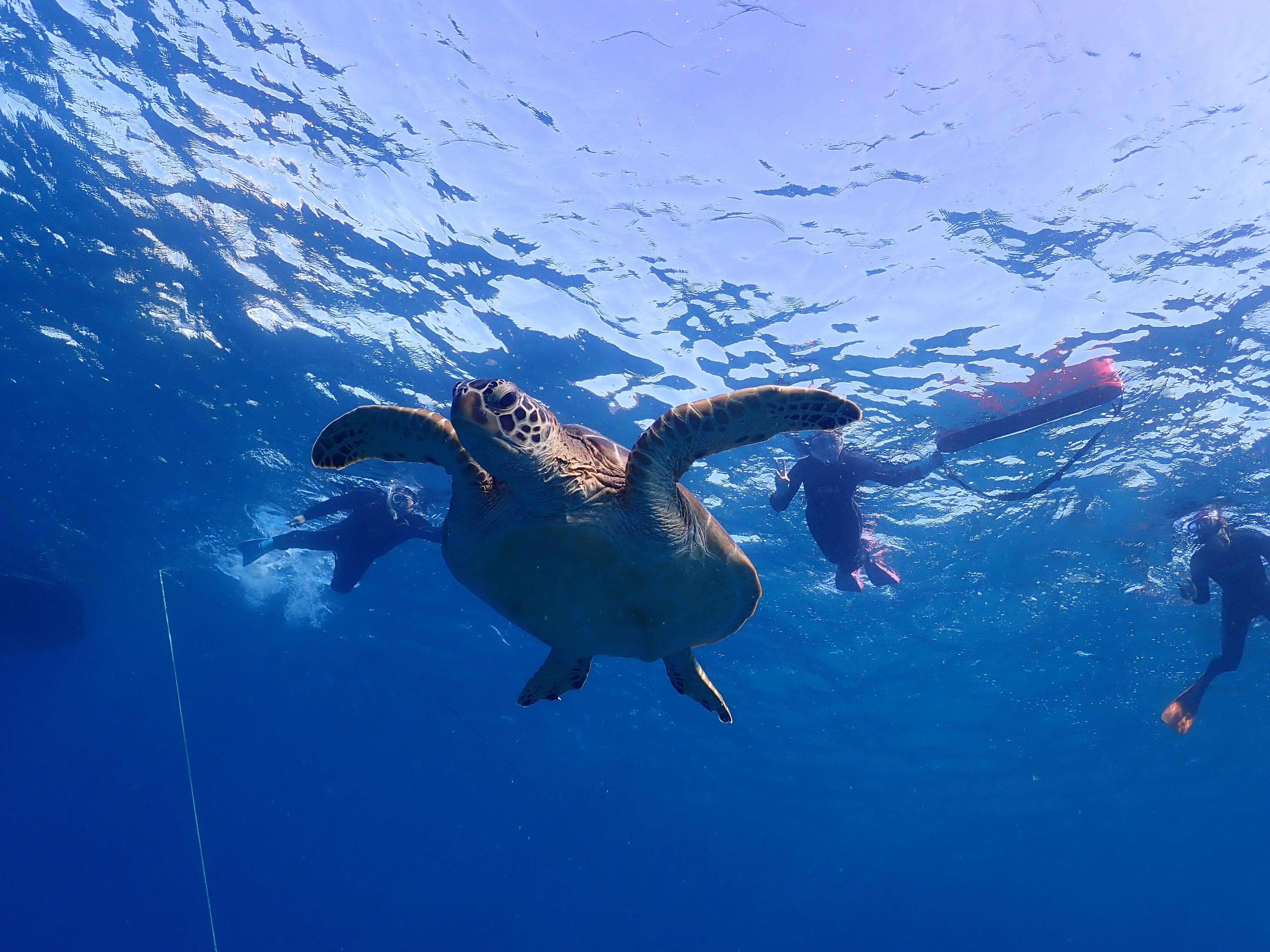 カワイイウミガメと一緒に泳ごう!