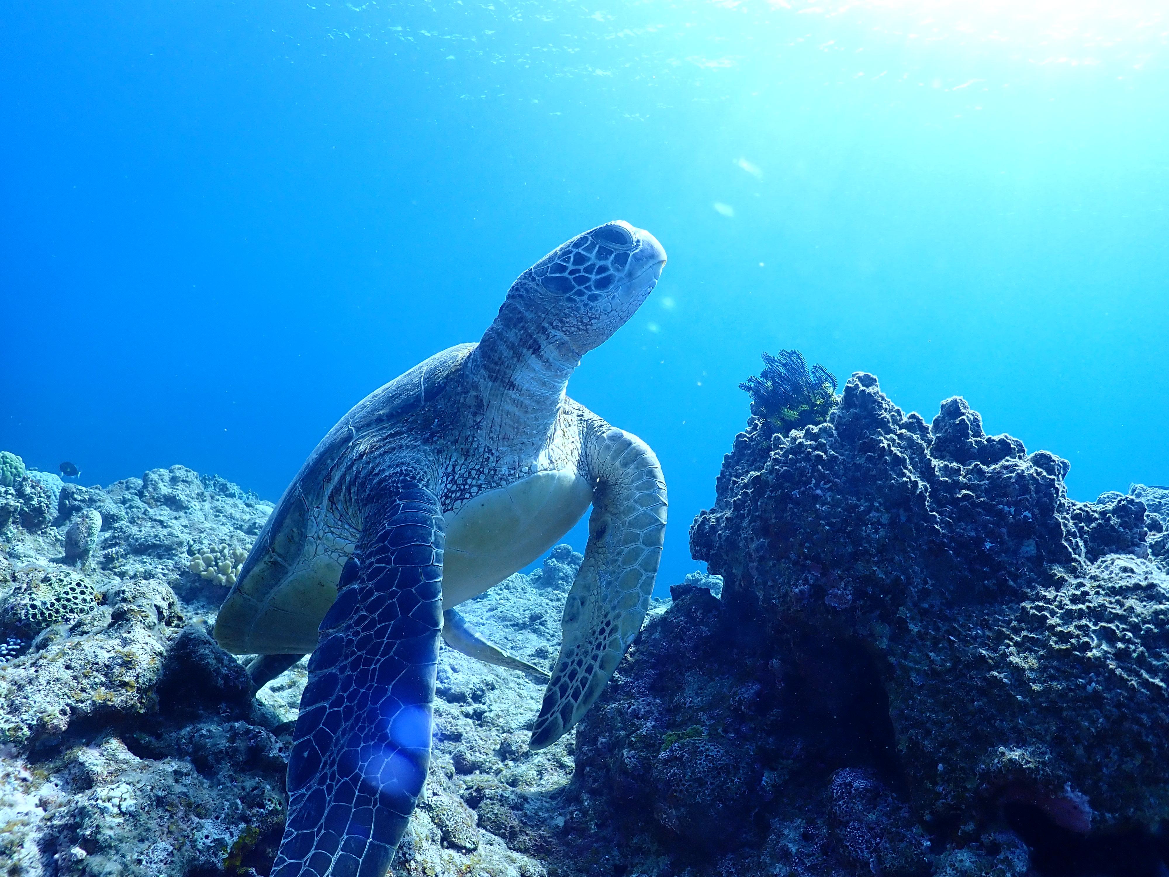 全滅危惧種のウミガメですが八重山では多数生息しています