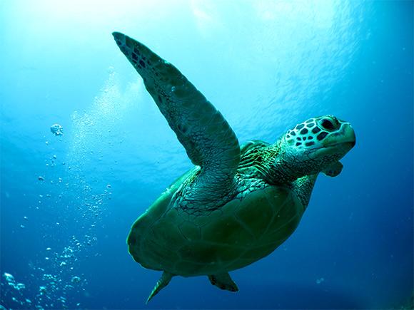 ウミガメの遭遇率は約90%!!